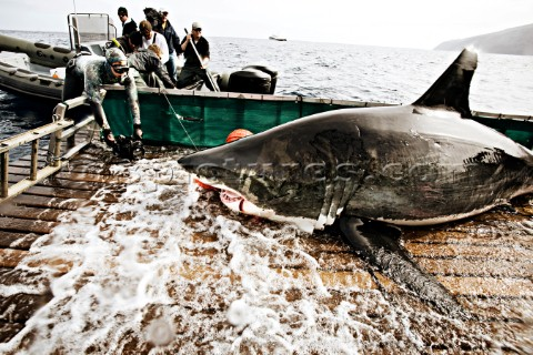 Crew films White Shark as it is pulled into research cradle